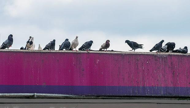Schädlingsmonitoring und die Maßnahmen bei Tauben